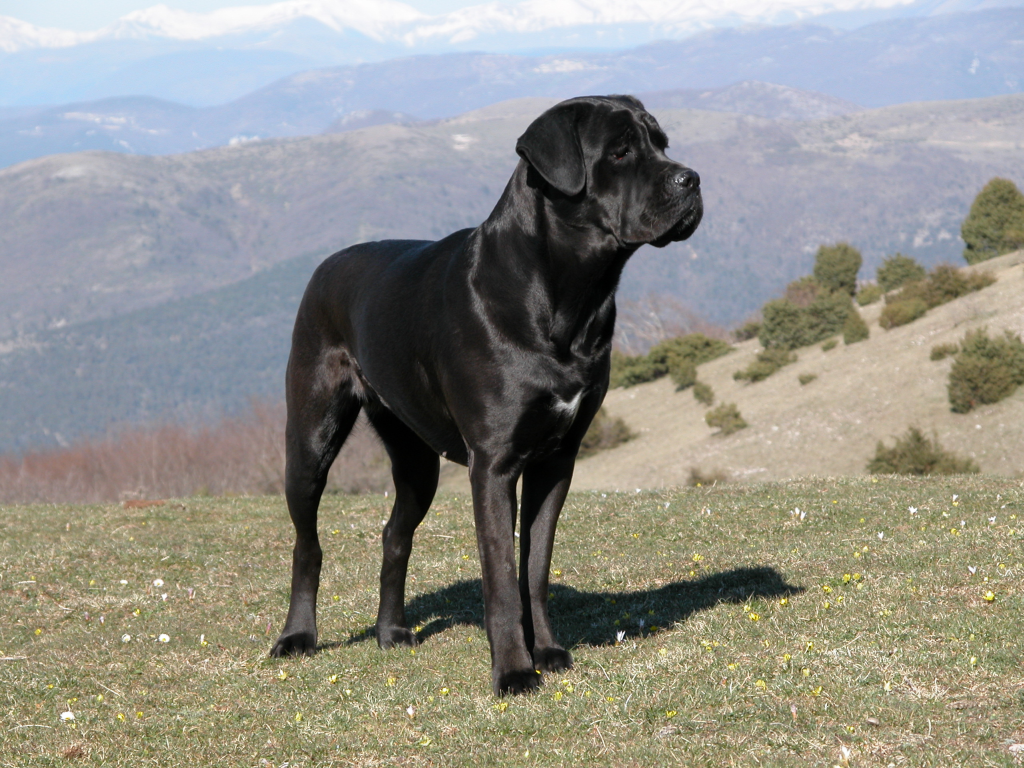 King Versus California King >> Pictures of kino corso: cane corso for sale in ct: cane ...