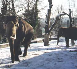 elefants in the snow