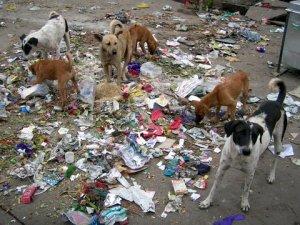 india's stray dogs